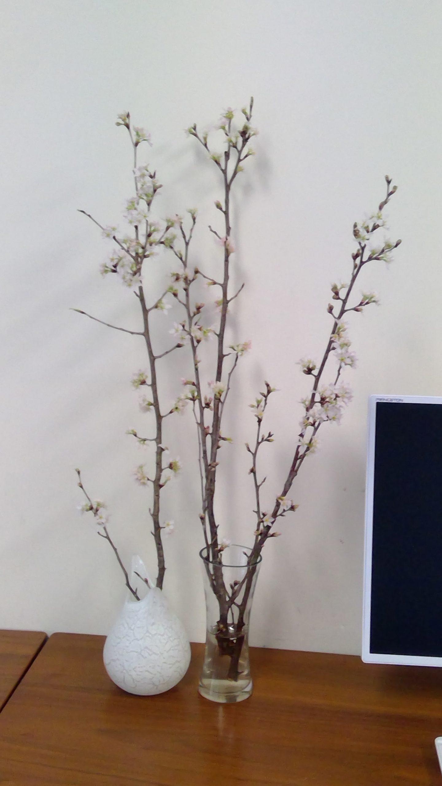 卒業生Mくんが創業した「シーズン・ハーツ」の桜